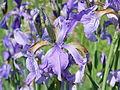 PR Kamenný rybník 05 - kosatec sibiřský (Iris siberica) 04.JPG