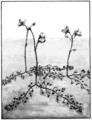 PSM V67 D186 Bladderwort utricularia vulgaris.png