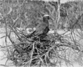 PSM V76 D407 Noddy gull upon its nest bird key tortugas.png