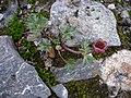 Padjelanta - Ranunculus glacialis 3.jpg