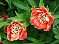 Paeonia delavayi 2015-05-17 01.jpg