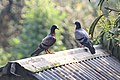 Pair of Pigeon in Barashalghar, Debidwar, Comilla, 18 Feb 2016.jpg