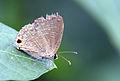 Pale Four-line Blue (Nacaduba hermus).JPG
