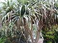 Pandanus boninensis.jpg