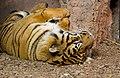 Panthera tigris sumatrae (8036561980).jpg