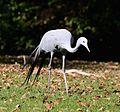 Paradieskranich Anthropoides paradisea Tierpark Hellabrunn-3.jpg