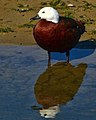 Paradise Duck (7928205278).jpg