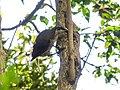 Paradise Riflebird (32253202071).jpg