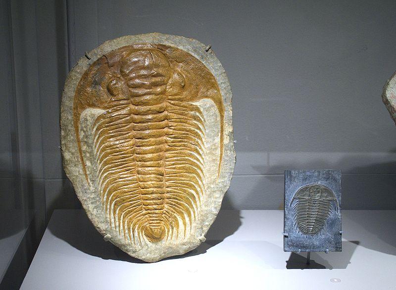 Древнейший (кембрийский) трилобит группы Olenidae. Свободное изображение Википедии, автор фото Futureman1199