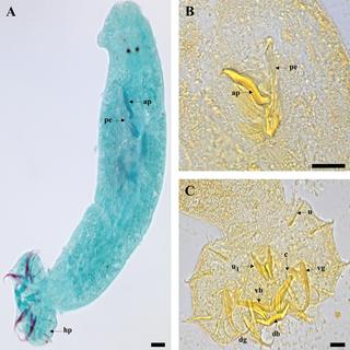 <i>Cichlidogyrus</i> genus of worms