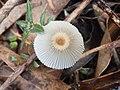 Parasola lactea (A.H. Sm.) Redhead, Vilgalys & Hopple 677835.jpg