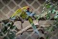 Parque Zoológico de São Paulo - Sao Paulo Zoo - Arara Militar (Arara Verde) - Military Macaw (11539938064).jpg