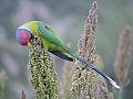Parrot, Village Saketdi, Haryana,India.jpg
