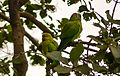 Parrot pair at Bharatpur Bird Sanctuary, India.jpg