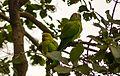 Parrot pair at Bharatpur Bird Sanctuary, India.jpg