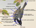 Parus ater ro.png