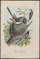 Parus caudatus - 1700-1880 - Print - Iconographia Zoologica - Special Collections University of Amsterdam - UBA01 IZ16100169.tif