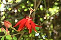 Passiflora coccinea 14zz.jpg