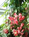 Passiflora racemosa HabitusFlowers BotGardBln0906a.jpg