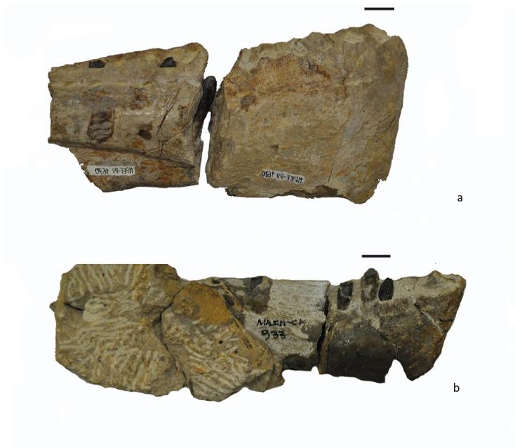 Patagosaurus skull