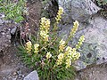 Pedicularis contorta Second Burroughs (371850861).jpg