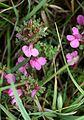 Pedicularis sylvatica Obers. Orchi 142.jpg