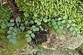 Pellaea rotundifolia kz2.jpg