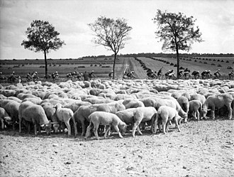 1938 Tour de France - Cyclists passing a herd of sheep