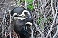 Penguin colony in Hermanus 12.jpg