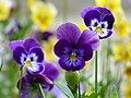 Pensamiento (Viola tricolor) - Flickr - Alejandro Bayer.jpg