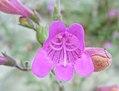 Penstemon richardsonii var. richardsonii 1.jpg