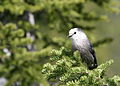 Perisoreus canadensis Waterton Lakes Alberta.jpg