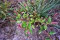 Persicaria maculosa + Persicaria lapathifolia (8346495896).jpg