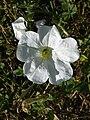 Petunia acillaris (Solanaceae) flower.JPG