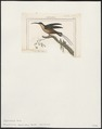 Phaëtornis squalidus - 1838 - Print - Iconographia Zoologica - Special Collections University of Amsterdam - UBA01 IZ19100007.tif