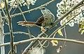 Phacellodomus dorsalis - Chestnut-backed Thornbird 1 (cropped).jpg