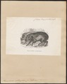 Phacochoerus aethiopicus - 1700-1880 - Print - Iconographia Zoologica - Special Collections University of Amsterdam - UBA01 IZ21900239.tif