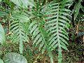 Phlebodium aureum (Ptéridophyte).jpg