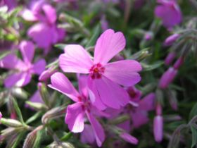 Phlox subulata bluete.jpeg