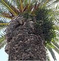 Phoenix canariensis und Ficus microcarpa.jpg