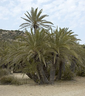 Phoenix theophrasti - Cretan Date Palm at the beach in Vai, Crete