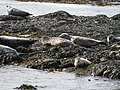 Phoques gris ( Halichœrus grypus), Île Rathlin.jpg