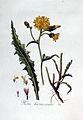 Picris hieracioides — Flora Batava — Volume v3.jpg
