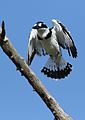 Pied Kingfisher, Ceryle rudis, at Pilanesberg National Park, South Africa (28192549170).jpg