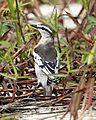 Pied Triller (Lalage nigra striga) female.jpg