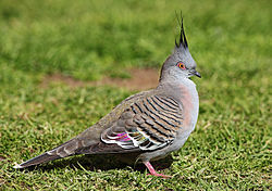 Pigeon-Crested.jpg