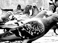 Pigeon s.jpg