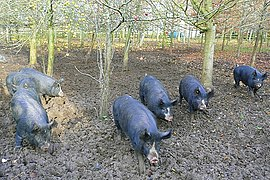 Pigs at North Standen - geograph.org.uk - 1052466.jpg