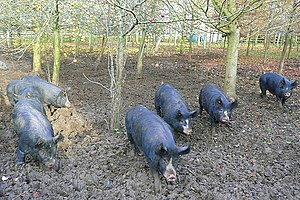 Berkshire pig - Image: Pigs at North Standen geograph.org.uk 1052466