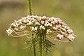PikiWiki Israel 7034 Wild carrot.jpg